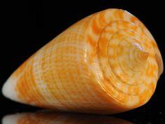 rare Caribbean Cone shells