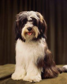 Tibetan Terrier Dog Breed - Tibetan Terrier Profile