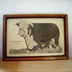old vintage cattle photo
