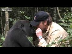 Amazing! Damian Aspinall goes to Africa to be reunited with the gorilla he brought up at Howletts Zoo in Kent, England. I have seen Damian many times in with the gorillas, he has a special bond with them and this is just such a moving video (the gorillas are in most cases returned to the wild)