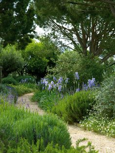Blue garden path. The iris look like the summer skies in the back. Perhaps they could go along the path that will run along the fence with azure allium. Don't get to fussy there