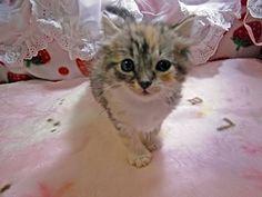 アメリカンカールの子猫販売情報 【ブリーダーから直接!格安子猫販売のキャッテリー・セイワ】