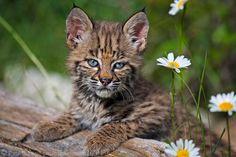 Young Bobcat 2