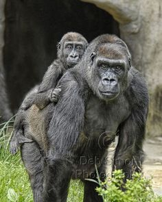 Western lowland gorillas - populations have declined by over 60 percent during the past 25 years—and are projected to continue dropping over the coming decades.