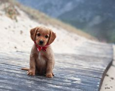 puppy in a bow-tie.