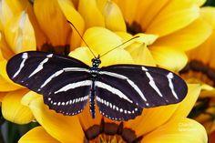 Zebra Longwing Butterflies love this garden!