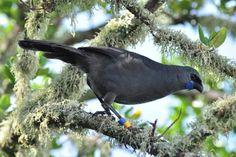 North Island kokako. (Callaeas wilsoni). Adult perched in tree. Tiritiri Matangi Island, New Zealand (Bonaparte 1851)