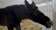 Lippizaner foal, most Lipizzaners are white horses, so have a dark color as foals and get white with six to ten years.