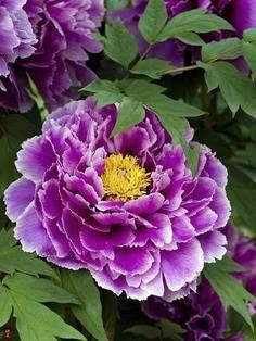 Purple Peonies (Paeonia)