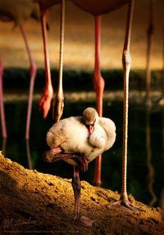 mini flamingo sleep :)