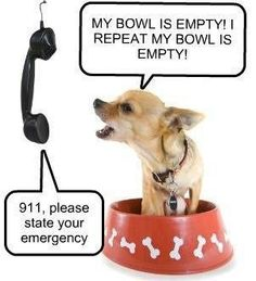 #Chihuahua 911 lol  #dog #humor