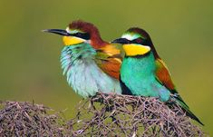 European Bee-eaters, (Merops apiaster), in Amed, Northern Kurdistan, Turkey.
