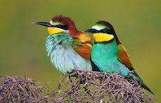 European Bee-eaters, (Merops apiaster), in Amed, Northern Kurdistan, Turkey.