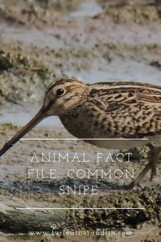 The common snipe is one of Britain's most widespread waders, but how much do you know about the shy bird? Animal Fact File, Animal Facts For Kids, Animals For Kids, Fun Facts About Tigers, Tiger Facts, Did You Know, Told You So, Animals Information, Cool Pictures