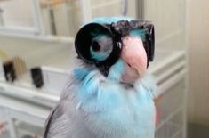 Video: Parrot Wears Goggles, Flies Through Lasers, Revolutionizes Research :http://www.petcha.com/video-parrot-wears-goggles-flies-through-lasers-revolutionizes-research-trending/
