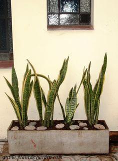 Sanseviera, una planta ideal para zonas con poca luz | Plantas & Jardín