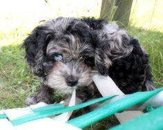Pollyanna # puppy # cockapoo
