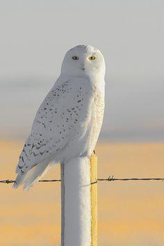 Snowy Owl (Bubo scandiacus) Drumheller, Alberta   by Daniel J. Field