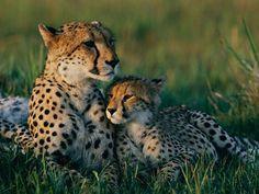 Cheetah Mom and Cub, Botswana