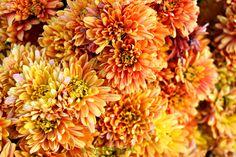 Golden orange mums Orange Co CA, November Early Autumn, The Gr, Samhain, Flower Power, Harvest, Waiting, November, Seasons, Orange