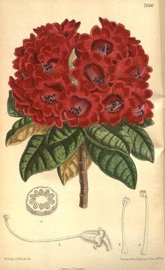 Rhododendron Arboreum v.126 [ser.3:v.56] (1900) - Curtis's botanical magazine.