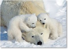 Polar Bear family.