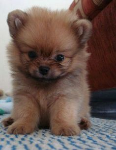 Can we take a moment to just recognize that this is possibly the most CUTEST puppy ever! Puppy Find, Puppy Pictures, Dog Photos, Pomeranian Dogs, Miniature Pomeranian, Pomeranians, Miniature Schnauzer, Pomeranian Facts, Teacup Pomeranian