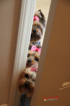 Hide and seek, Yorkie style:)