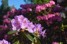 Grandiflora taustalla Haagaa