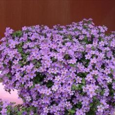 """Photo from <a href=""""http://www.learn2grow.com/plantdatabase/plants/DisplayLargeImage.ashx?ImageID=123842"""">Learn2Grow</a>"""