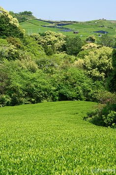 Yame Central Tea Garden  Yame-city, Fukuoka prefecture, Japan.