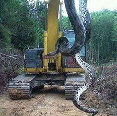 cobra gigante de 40 metros - Pesquisa Google