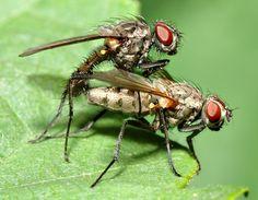 File:Anthomyiidae sp. 1 (aka).jpg