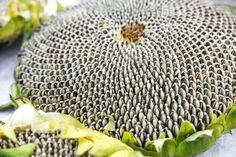 One of the pleasures of watching those huge yellow flowers following the summer sun is anticipating harvesting sunflower seeds in the fall. Get tips for harvesting sunflower seeds here.
