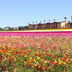 Carlsbad, flower field