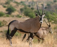 South African Oryx antelope