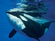 Killer whales are my favorite animals!!  I've loved them since I first saw Free Willy.      Too bad the Sea World in Ohio closed.  That was a sad day!  I only had a chance to go once.