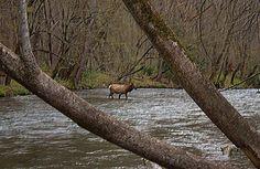 Elk, Oconaluftee Visitor Center, North Carolina, Smokies, Great Smoky Mountains National Park, Jeff Mullins Photography @jmullinspics