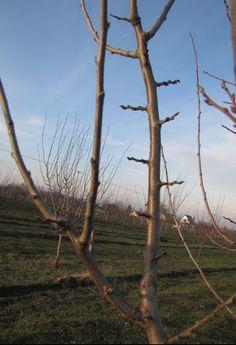 Jól látható, hogy a hosszú hajtás milyen szépen berakódott termőnyársakkal. A rövid töviseknek tűnő hajtások a termőnyársak tele értékes virággal.