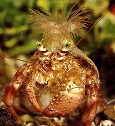 LOL - best sea anemone placement on a hermit crab!
