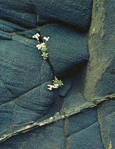 Eliot Porter: White Flowers in Black Ash Cliff, Iceland  1972  Dye transfer print