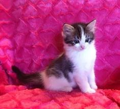 ragamuffin kittens breeder Ragamuffin Kittens, Cats, Animals, Gatos, Animales, Animaux, Animal, Cat, Animais
