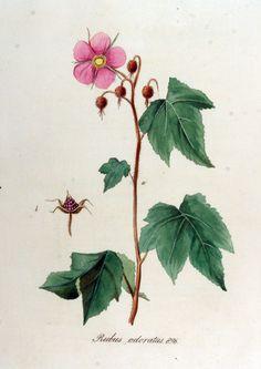 Rubus oderatus, Flora Batava of Afbeeldingen en Beschrijving von Nederlandsche gewassen, XII. Deel. (1865)