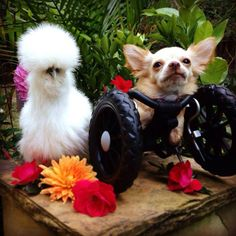 Go Home, the Internet Has Been Won by These Chihuahua and Chicken BFFs | Dogster