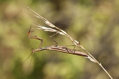 Auch manche Insektenarten können mit ihrer Umwelt verschmelzen: Diese europäische Gottesanbeterin kann sich nicht nur farblich, sondern auch von der Körperform her an ihre Umgebung anpassen. Sie bleibt so nicht nur für Feinde unsichtbar, sondern kann auch unentdeckt auf verblüffte Beute lauern. (Bild: ddp images)