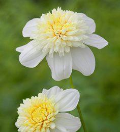 From the same family as the super-popular Blue Bayou, Totally Tangerine & Hot Cakes, Dahlia Platinum Blonde is the first of this group in a pale, serene cream