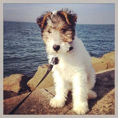 At Delwires we offer the sweetest and most wonderful and responsible way to purchase a quality, healthy and well socialised, KC registered Wire Haired Perro Fox Terrier, Wirehaired Fox Terrier, Fox Terriers, Wire Fox Terrier, Wire Haired Terrier, Wire Haired Dachshund, Pet Dogs, Dog Cat, Pets