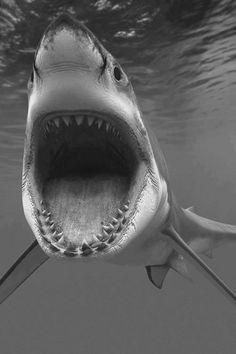 more backgrounds here shark sharks tiburon tiburones black and white blanco y negro animals animal animales The Great White, Great White Shark, Top 10 Deadliest Animals, Shark Show, Deadly Animals, Dangerous Animals, Shark Photos, Shark Gifts, Shark Bait