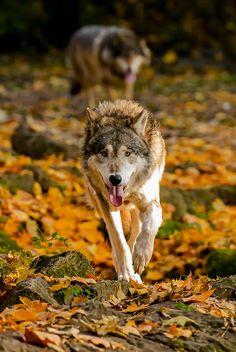 Wolf #01 von Woodcat