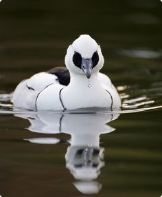 The Smew (Mergellus albellus) is a species of duck, and is the only member of…